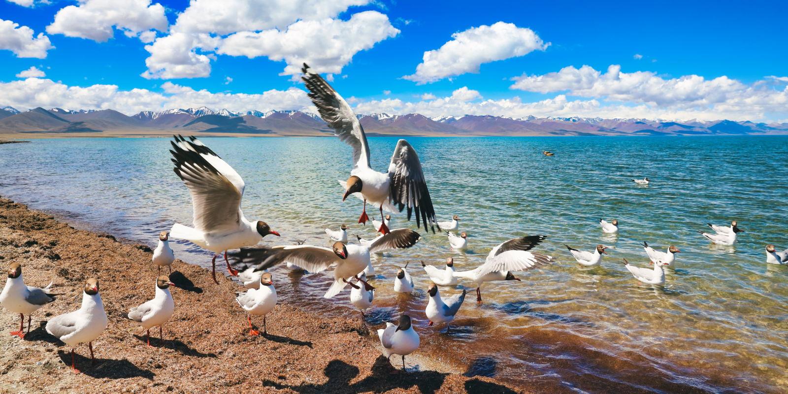 西藏納木錯海鷗